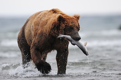 A coastal brown bear with a freshly caught salmon, Katmai National Park, Alaska.