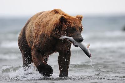 A coastal brown bear with a freshly caught salmon, Katmai National Park, Alaska.
