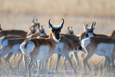 A herd of pronghorn antelope crossing a wheat field, Kansas.