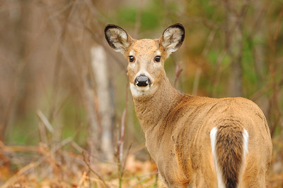 A whitetail doe in the woods of Northern Wisconsin.