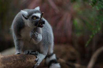 Lemur 03