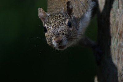 Gray Squirrel 11