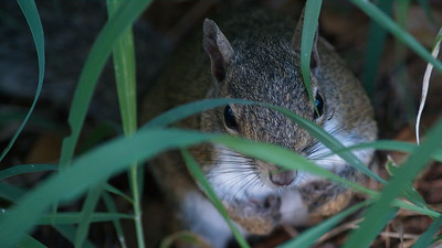 Gray Squirrel 09
