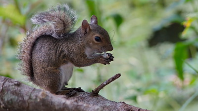 Gray Squirrel 04