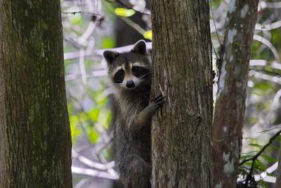Raccoon 09