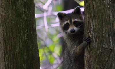 Raccoon 18