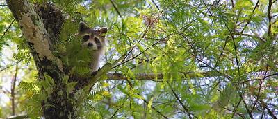 Raccoon 15