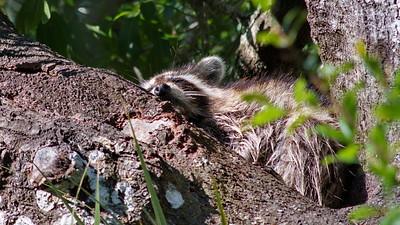 Raccoon 07