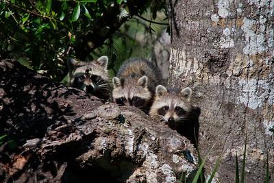 Raccoon 17