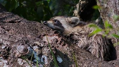 Raccoon 06