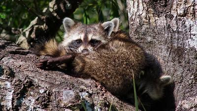 Raccoon 05