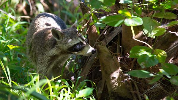 Raccoon 03