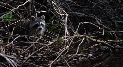 Raccoon 14