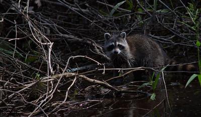 Raccoon 16