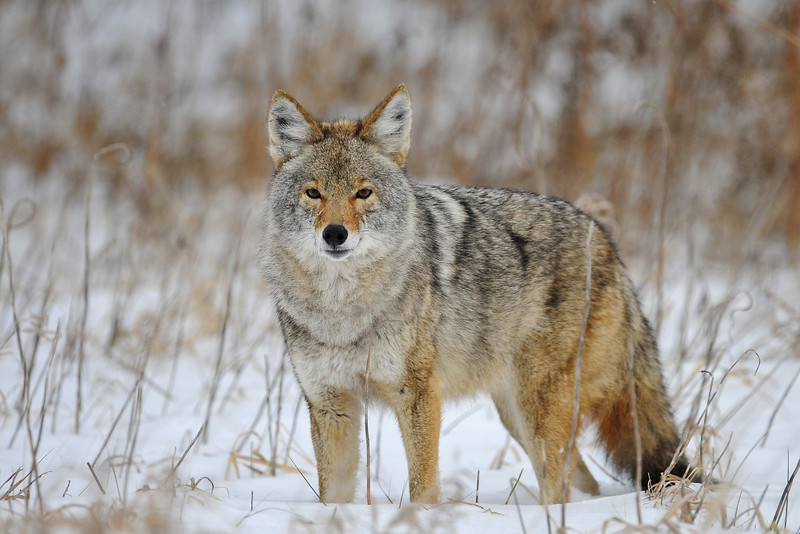 Coyote in a snowy farm field, Illinois.