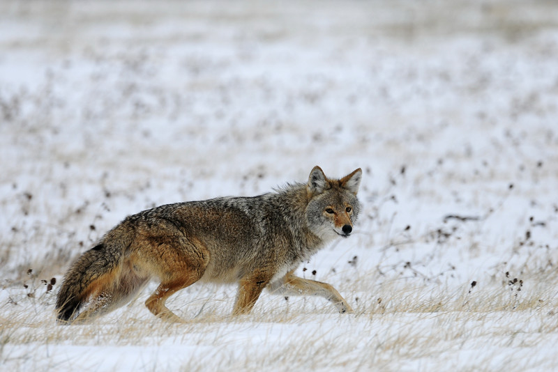 A healthy male coyote slings through the January snow in Illinois.