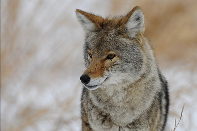 Winter coyote in Northern in Illinois.