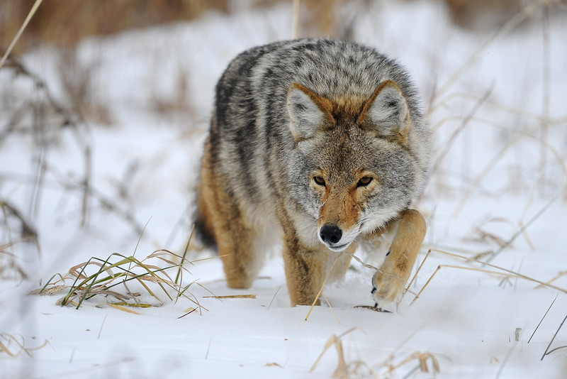 Coyote stalking through the snow, Illinois.