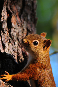 A red squirrel scaling a pine, Wisconsin.