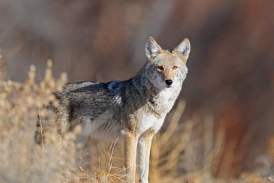 A desert coyote near the Bosque del Apaches, New Mexico.