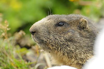An alpine marmot near Grindewald, Switzerland.