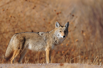 A desert coyote near the Bosque del Apaches, New Mexico.