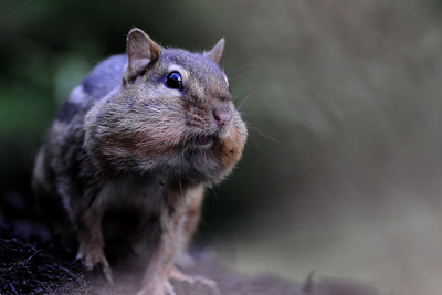 A Iowa chipmunk with cheek pouches full.