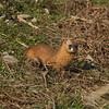 Least Weasel / Belette / 쇠족제비<br> <i>Mustela nivalis mosanensis</i><br> Family <i>Mustelidae</i><br> Gangjin Bay, Gangjin-gun, Jeollanam-do, South Korea<br> 4 January 2015