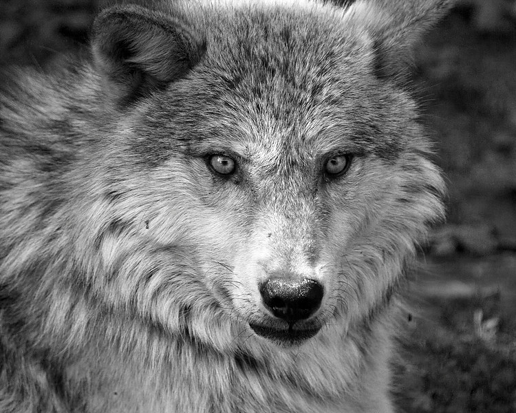 Alpha - Wolf staring straight ahead - Haliburton Forest Wolf Centre