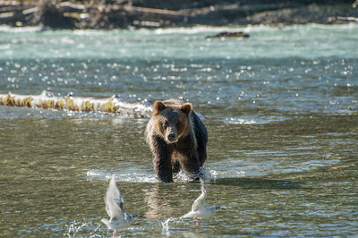 GRIZZLY SCARES OFF BOTH SEA GULLS AND STILL NO FISH FOR HIM.