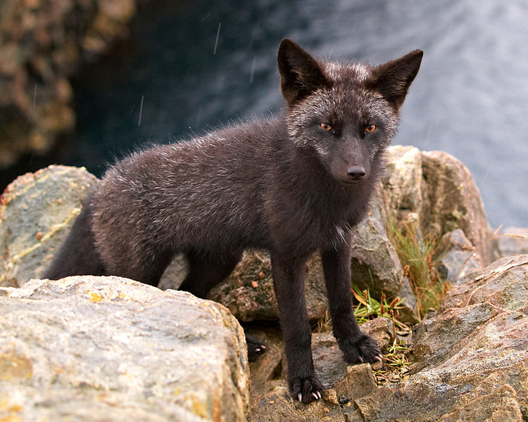 Silver Fox - Cape Bonavista Lighthouse, Newfoundland