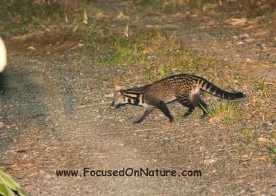 A 3rd Malay Civet