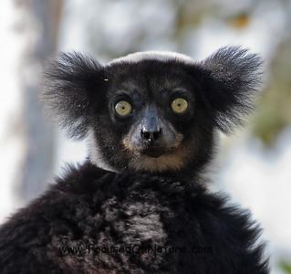 Indri Closeup