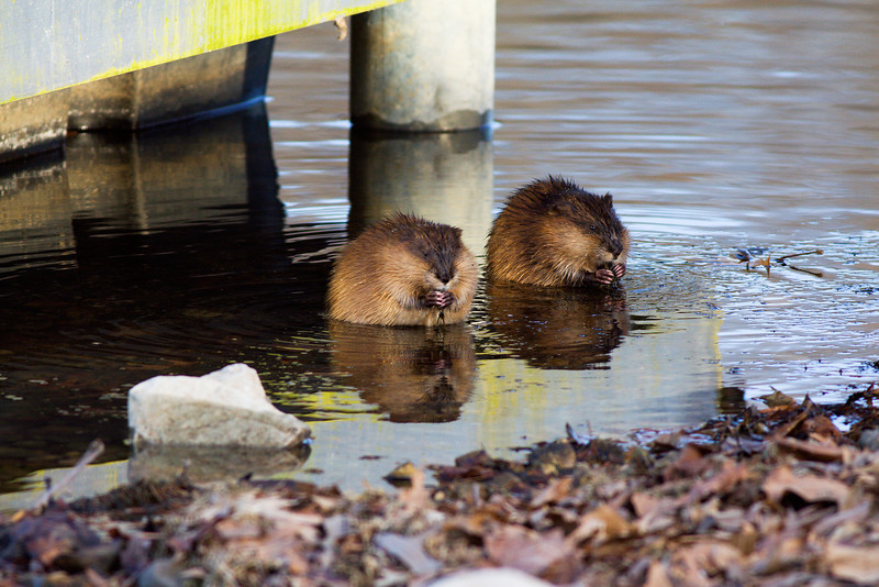 Muskrat pair Waterloo, Al 2010.
