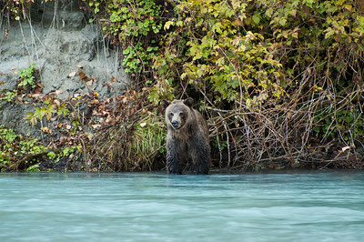 GLACIAL WATER SURROUNDS THIS GRIZZLY BEAR