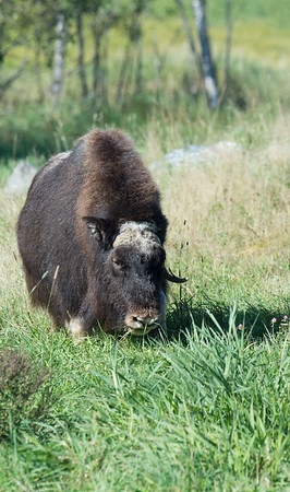 ZOO IMAGE OF A MUSKOX.