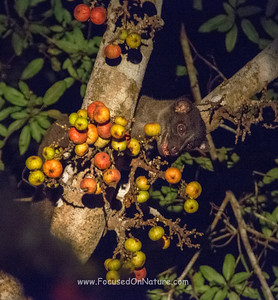 Striped Palm Civet Eyeing Dinner