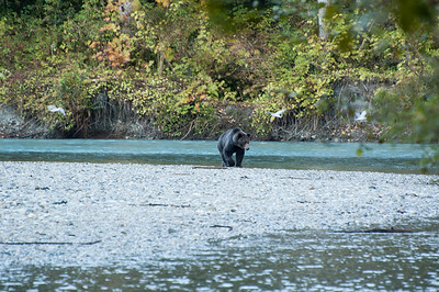 GRIZZLY BEAR GETTING READY TO CATCH A SPAWNING SALMON IN THE ORFORD RIVER IN B.C.