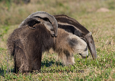Giant Anteater and Pup