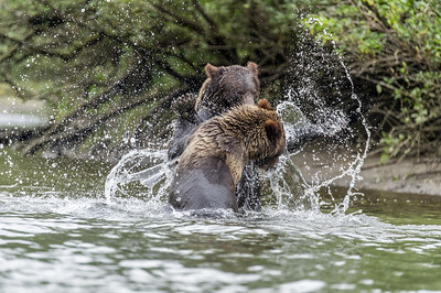 GRIZZLY BEARS PLAY FIGHTING IN THE WATER