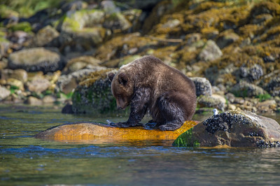 GRIZZLY BEAR CUB WITH THE FIRST SALMON HE CAUGHT.