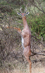 Gerenuk Standing