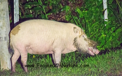 Huge Bearded Pig