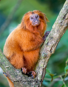 Pregnant Golden Lion Tamarin