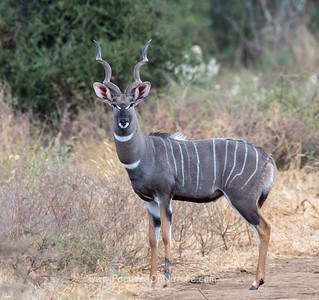 Male Lesser Kudu