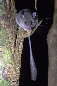 Webb's Tufted-tailed Rat