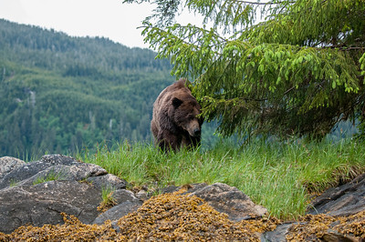 VERY OLD HUGE GRIZZLY BEAR IN THE GREAT BEAR RAINFOREST IN B.C.