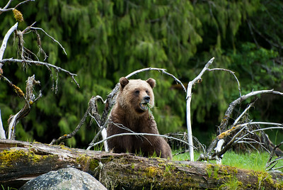 GRIZZLY BEAR'S DIET IN THE SPRING IS ESTUARY GRASSES. WHO KNEW?
