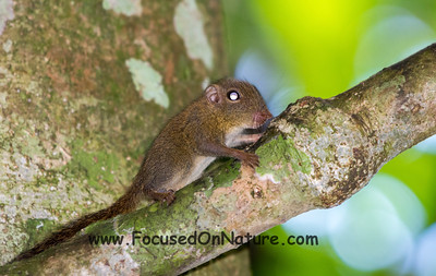 Bornean Pygmy Squirrel