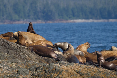 THE BROKEN ISLANDS GROUP OF ISLANDS OFF VANCOUVER ISLAND IS A PLAYGROUND FOR SEALS, OTTERS, AND SEA LIONS